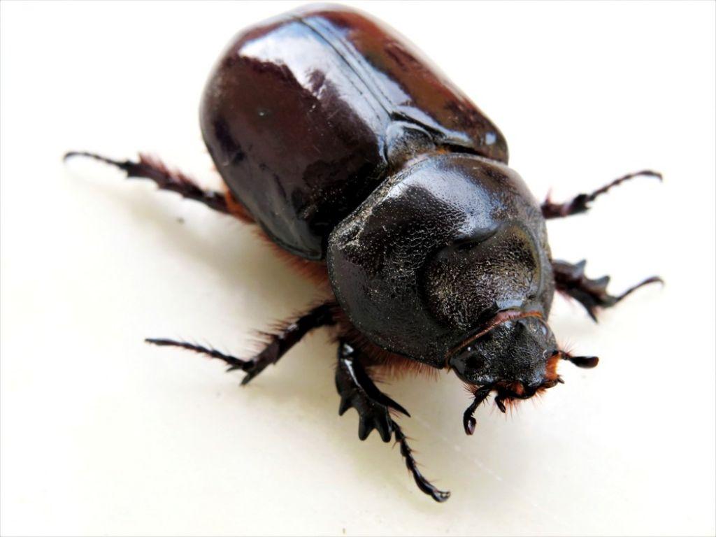 femmina di scarabeo rinoceronte? Sì, Oryctes nasicornis