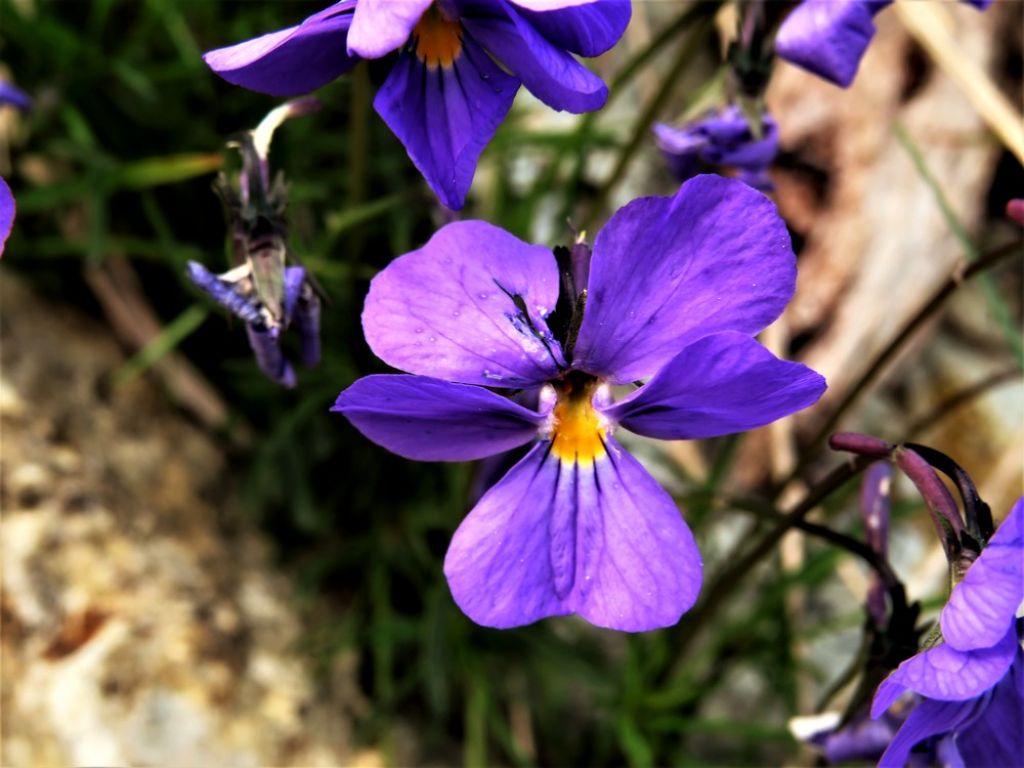 Viola sp.