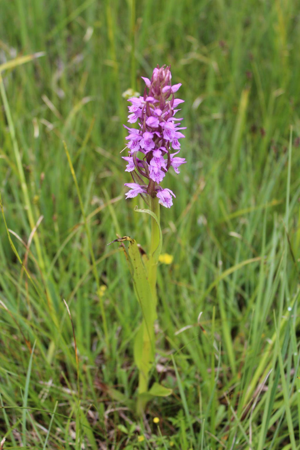 orchidea da identificare