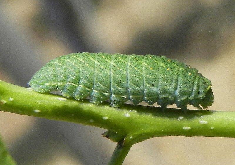 Iphiclides podalirius - larva