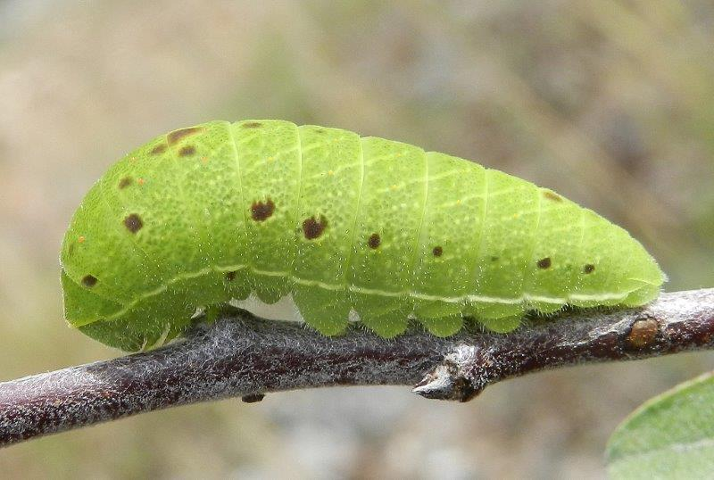 tre in un colpo - larve Iphiclides podalirius