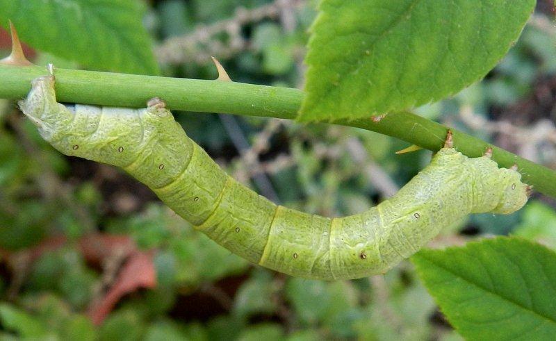 bruco mangia rose - Ascotis selenaria