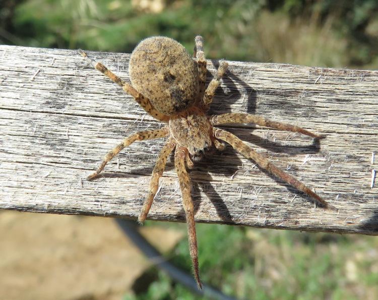 Da Melambes (Isola di Creta):   Zoropsis sp. (oertzeni o lutea)