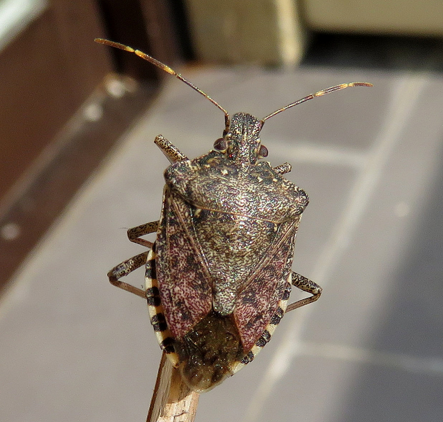 Pentatomidae da Vienna (Austria)