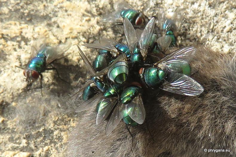 mosche colorate metalliche su un cadavere:  Lucilia sericata...