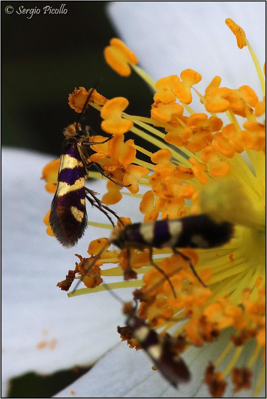 Micropterigidae:  Micropterix allionella ? ...forse...