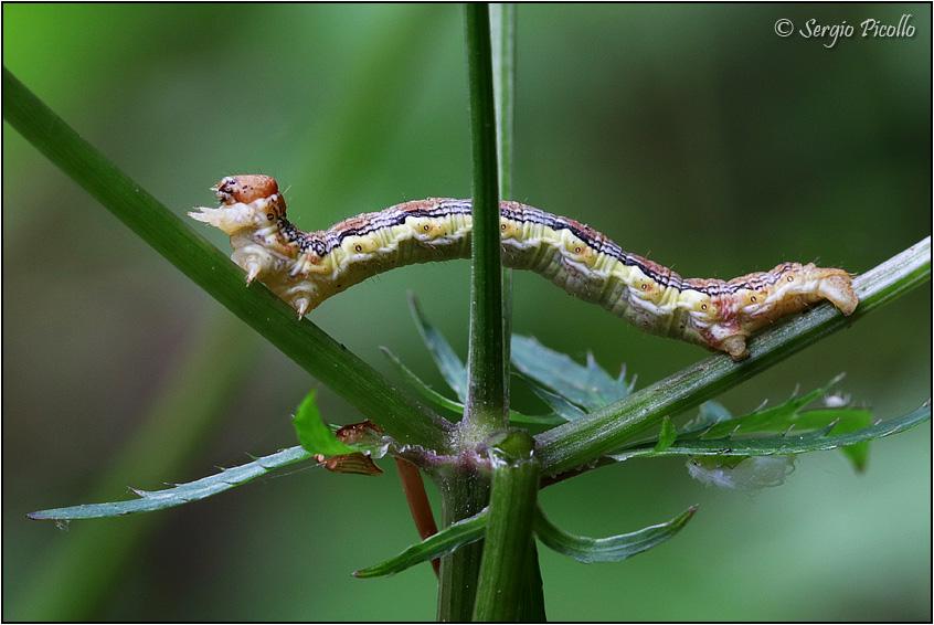 Bruco Geometridae da ID - Erannis defoliaria