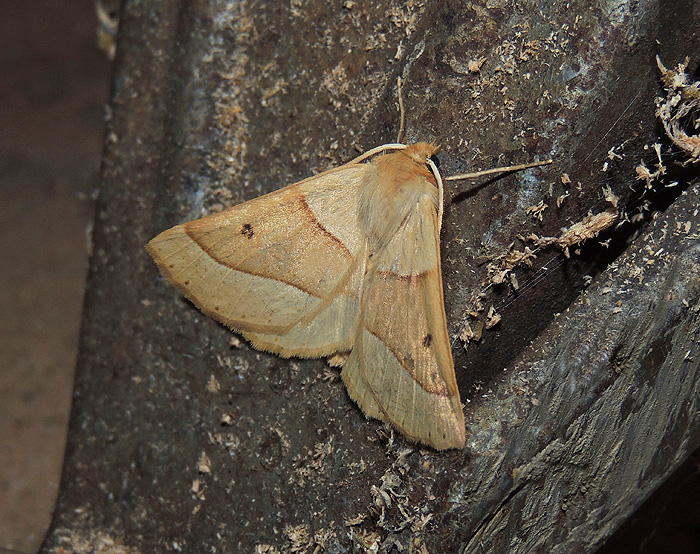 Crocallis elinguaria Geometridae