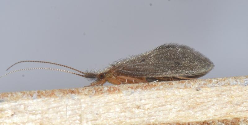 Lepidostomatidae: Crunoecia sp. (e gen. non id.)  e Leptoceridae: Ceraclea sp.