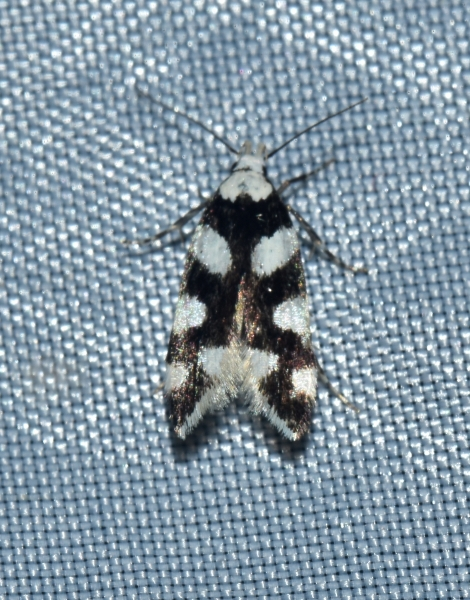 micro da identificare: Pseudotelphusa tessella (Gelechiidae)