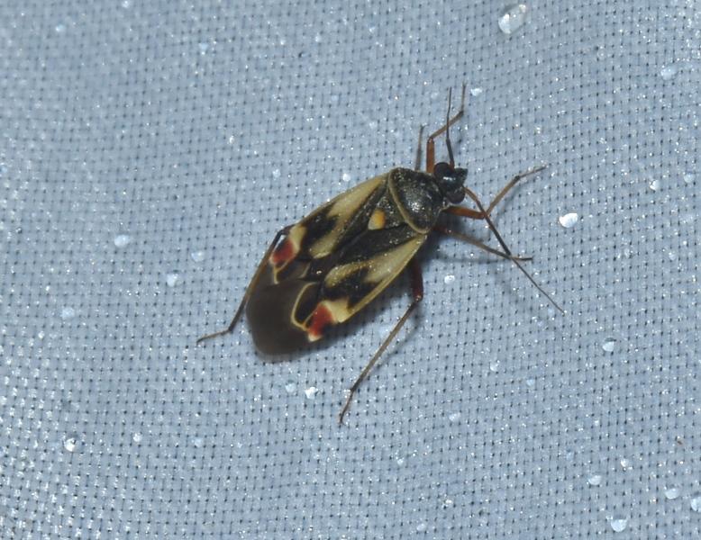Lygaeidae?  No, Miridae: Polymerus unifasciatus