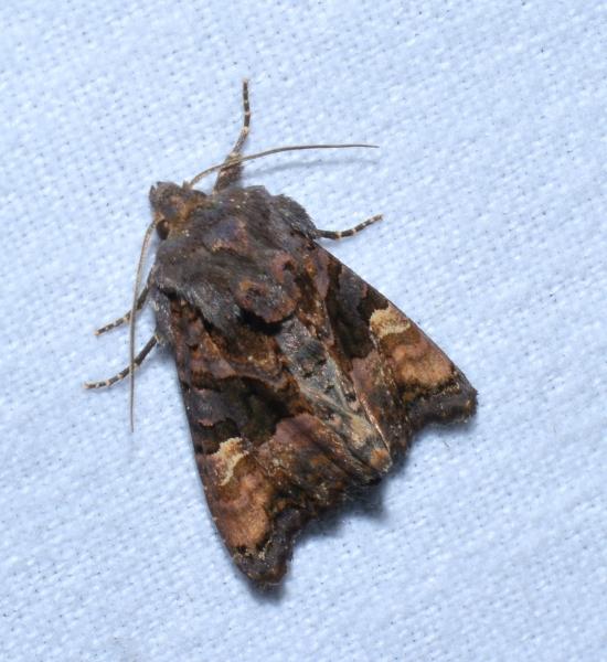 Noctuidae: Euplexia lucipara?  Sì !