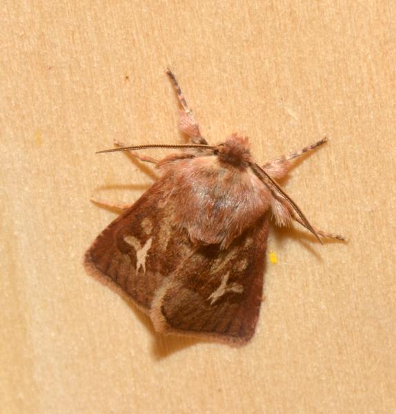 Noctuidae da confermare - Cerapteryx graminis