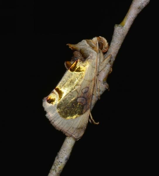 Diachrysia zosimi : Noctuidae