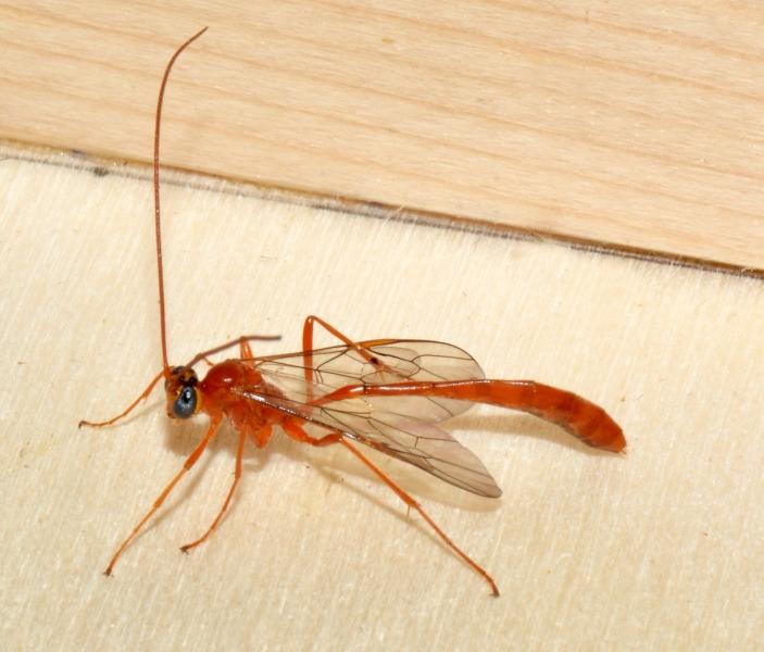 Ichneumonidae ?  Sì, Enicospilus sp.