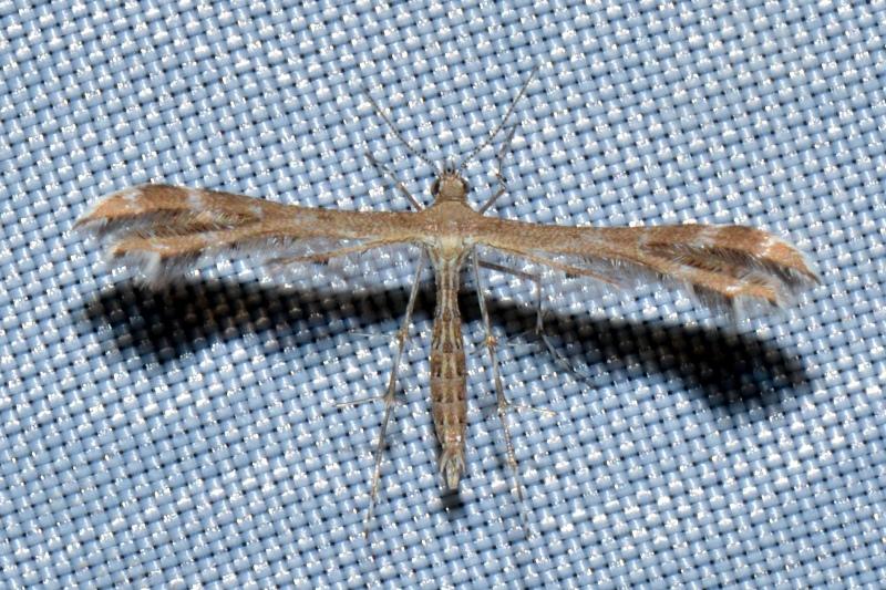 Pterophoridae: Oxyptilus distans (cfr.)