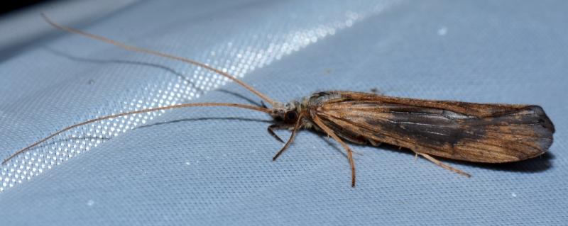 Odontoceridae: Odontocerum albicorne