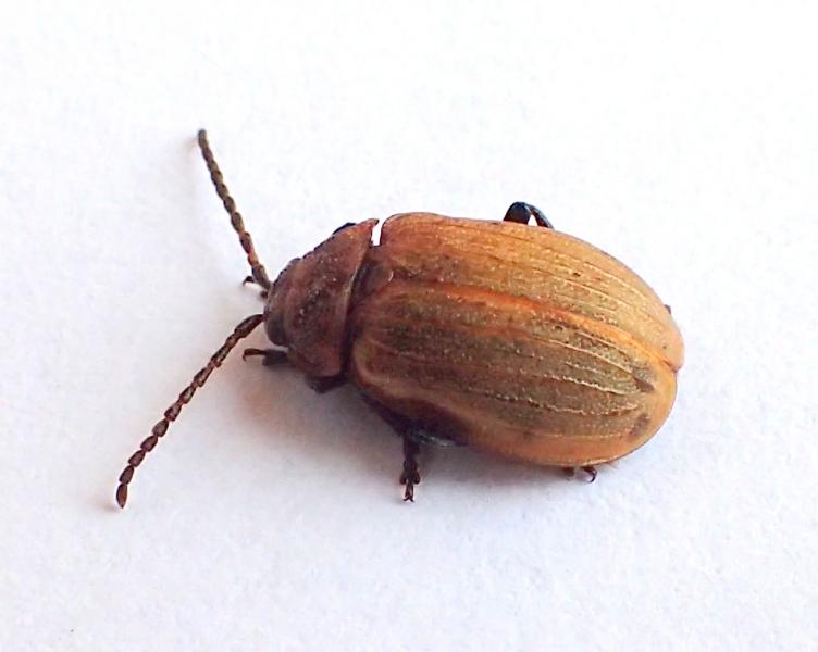 Chrysomelidae: Galeruca cfr. pomonae