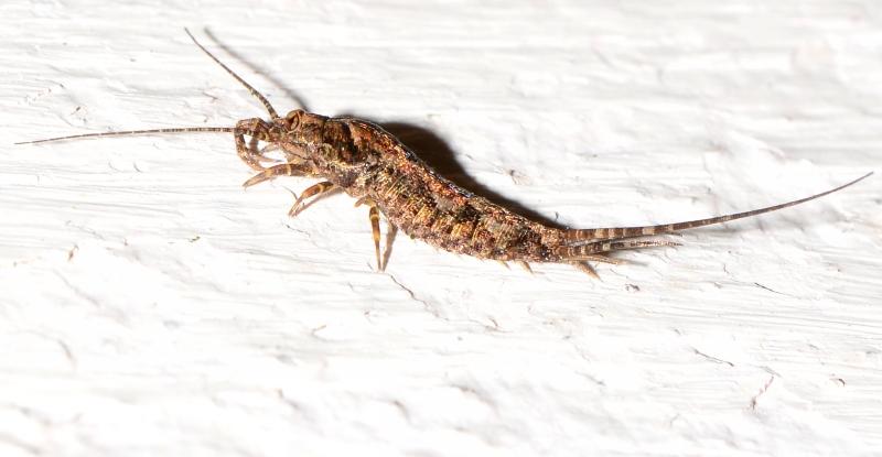 Microcoryphia?