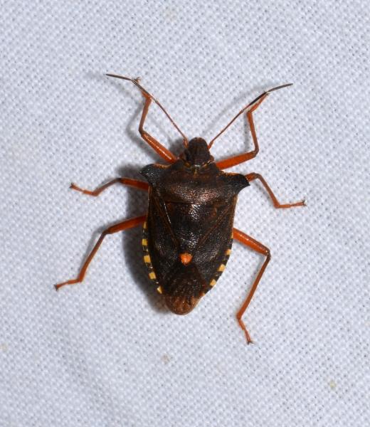 Pentatomidae: Pentatoma rufipes