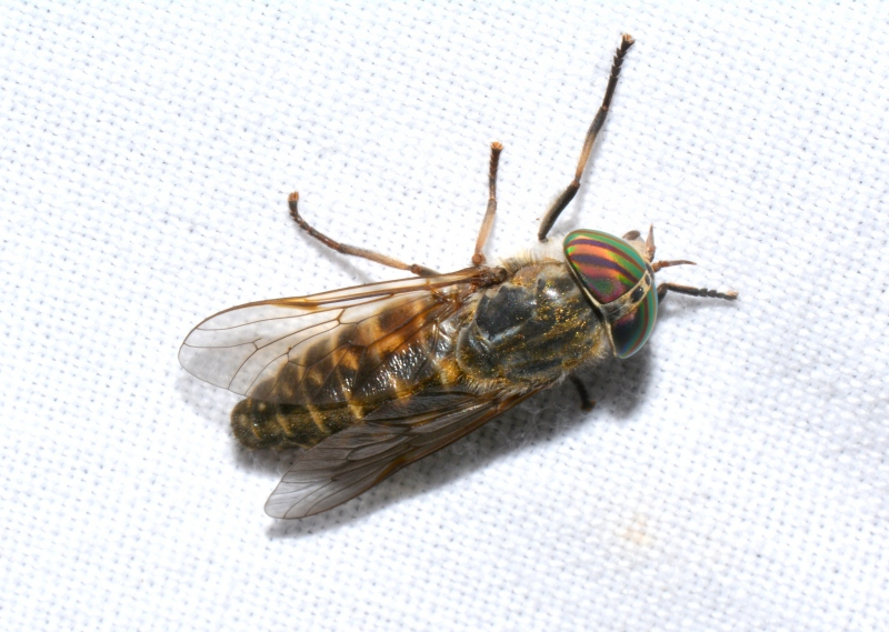 Tabanidae: Tabanus glaucopis, femmina