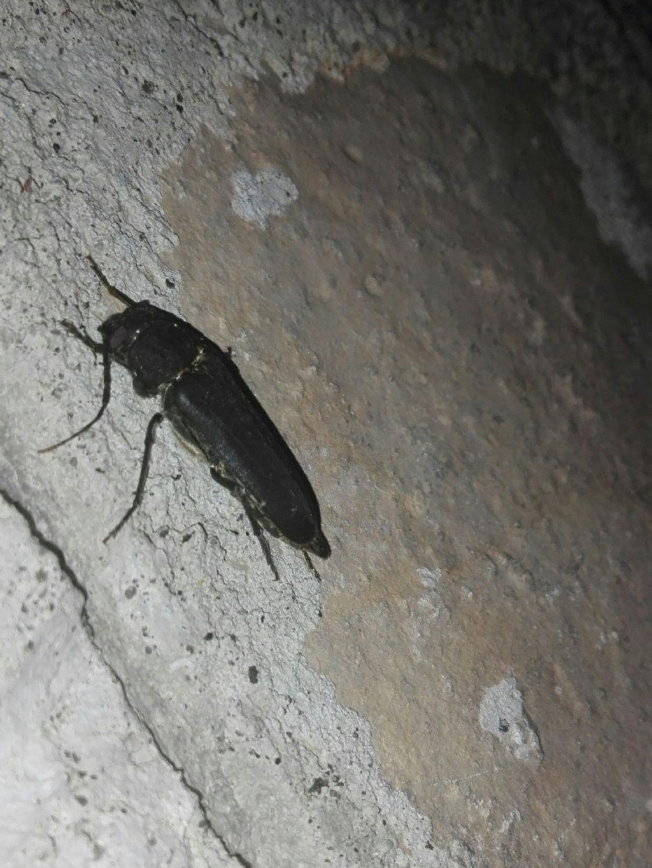 Cerambycidae: Arhopalus sp.