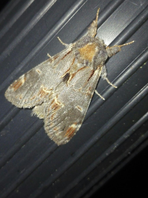 Farfalla da identificare: Notodonta dromedarius - Notodontidae