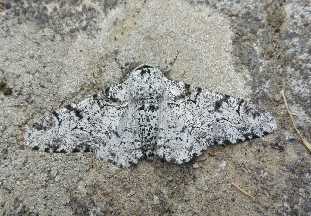 Farfalla da identificare: Biston betularia - Geometridae