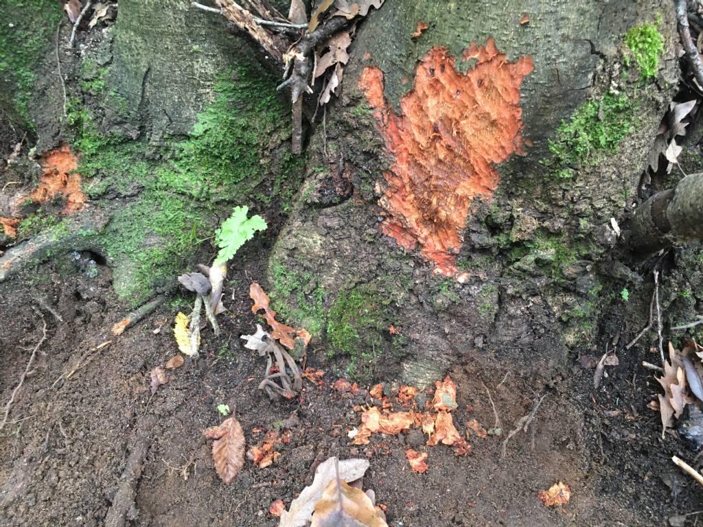 scavo vistoso e tronco scorticchiato... da parte di chi/cosa?