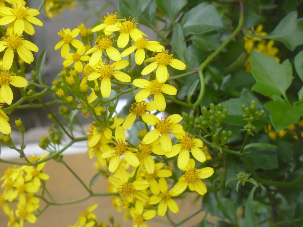 Senecio angulatus / Senecione angolato