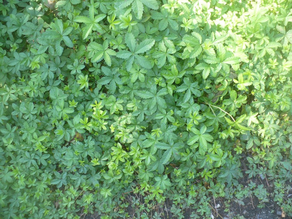 Potentilla reptans   (Rosaceae)