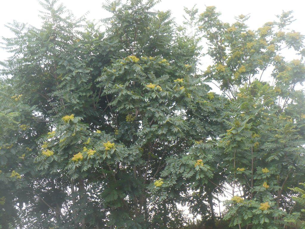 Ailanthus altissima (Sapindales Simaroubaceae)