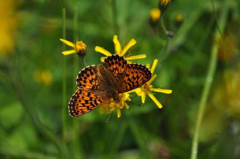 Farfalla da id: Boloria (Clossiana) titania - Nymphalidae