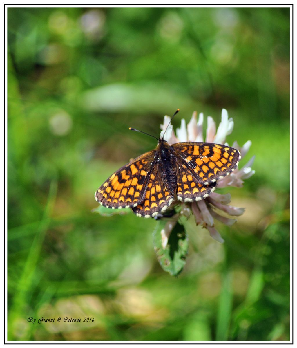 Farfalla da id - Melitaea nevadensis, Nymphalidae