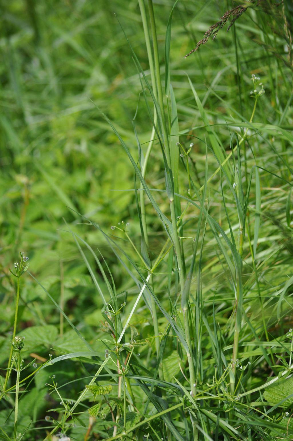 Tragopogon dubius / Barba di Becco a tromba
