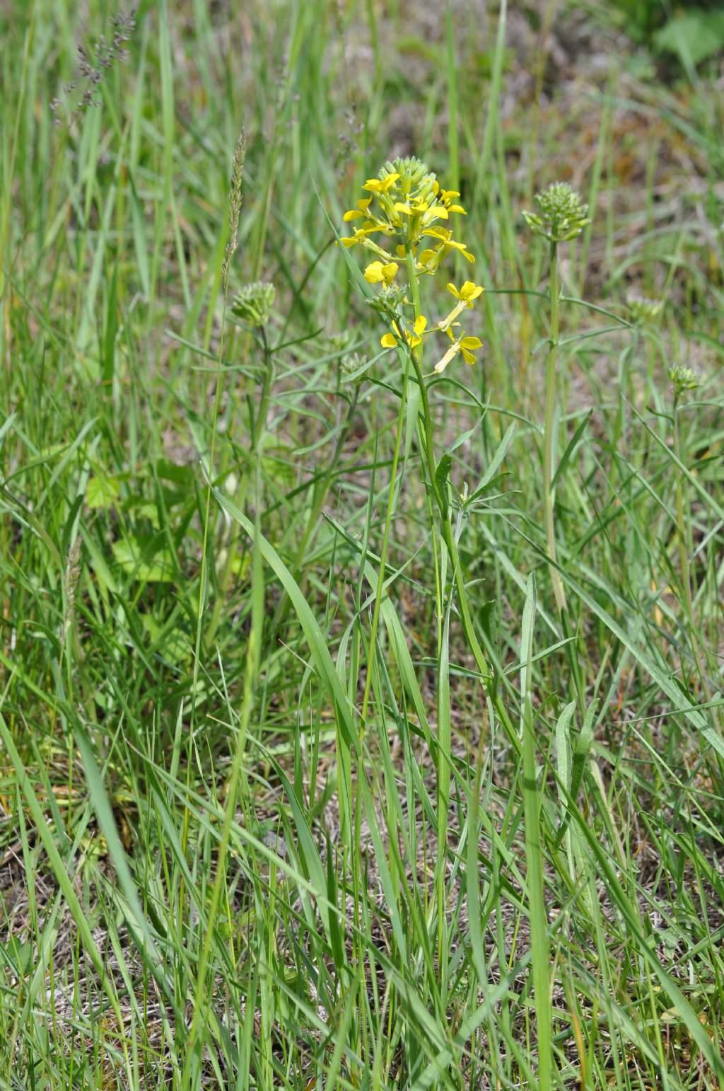 Erysimum sp. (Brassicaceae)