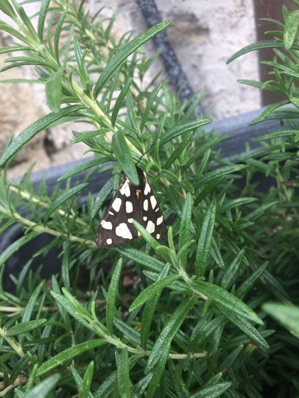 Farfalla da id: Arctia villica - Erebidae