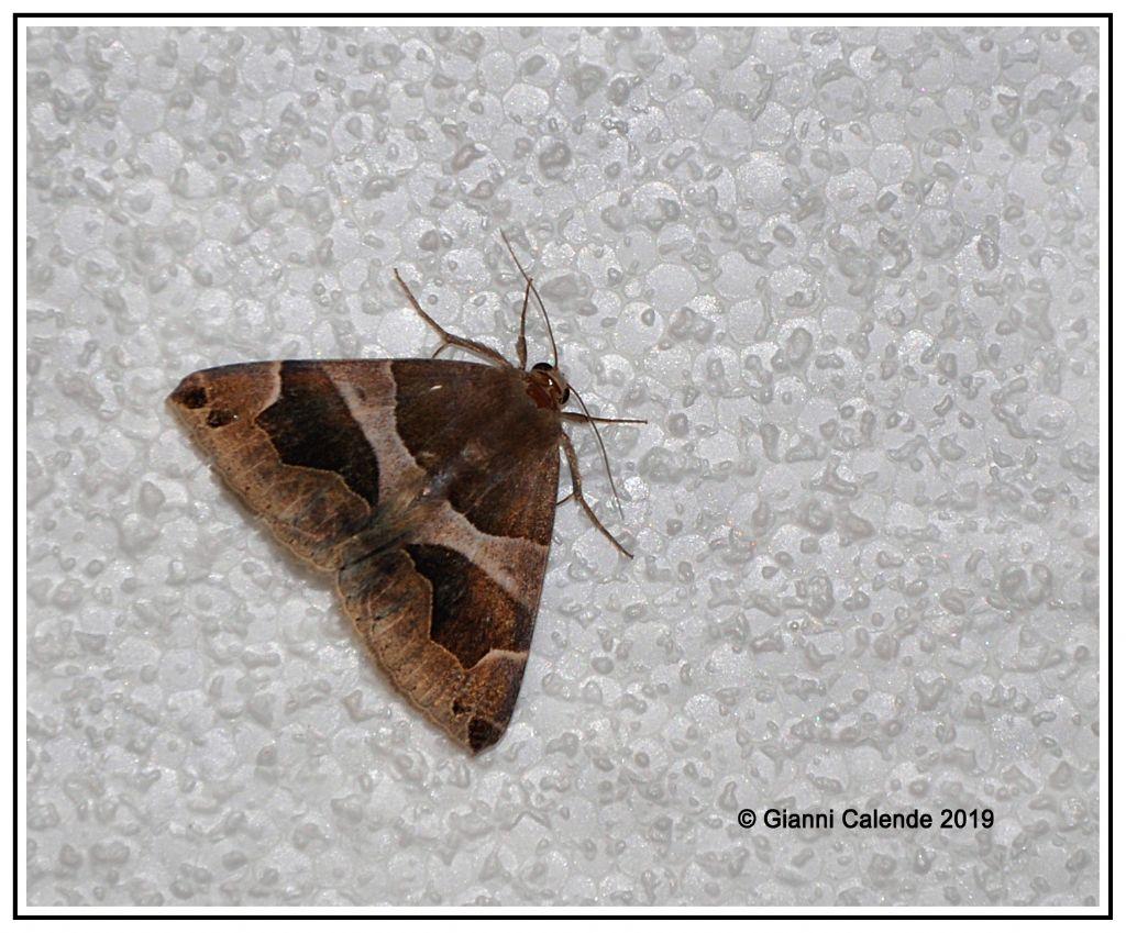 Dysgonia algira - Erebidae