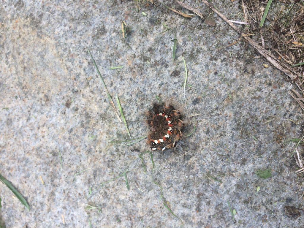 bruco di  Acronicta rumicis (Noctuidae)