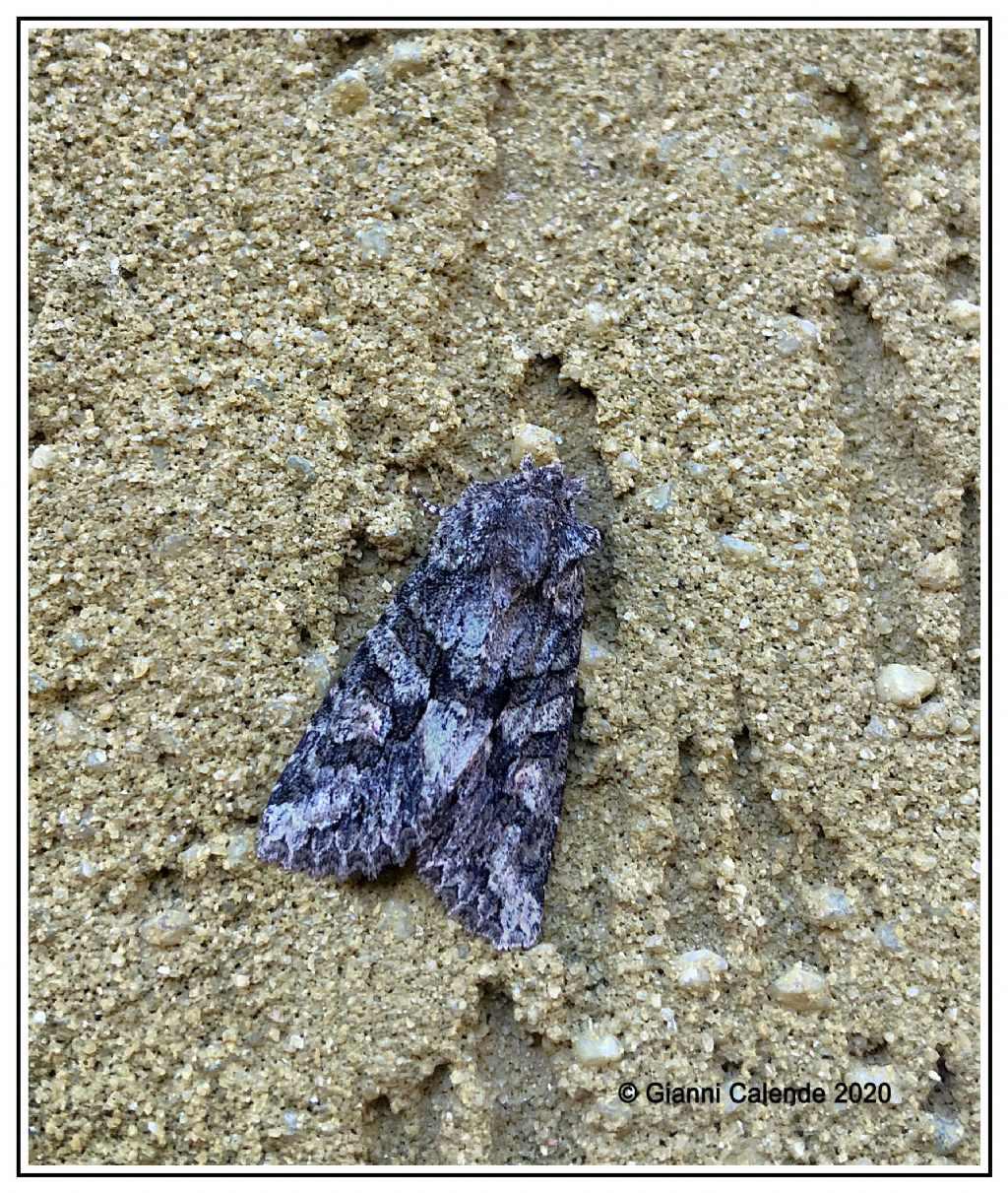 Dryobotodes eremita - Noctuidae