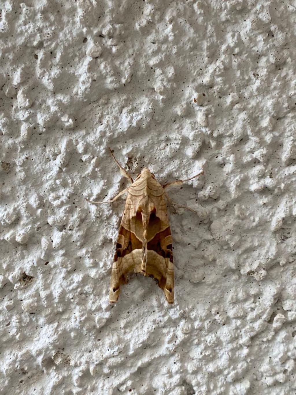 Phlogophora meticulosa - Noctuidae