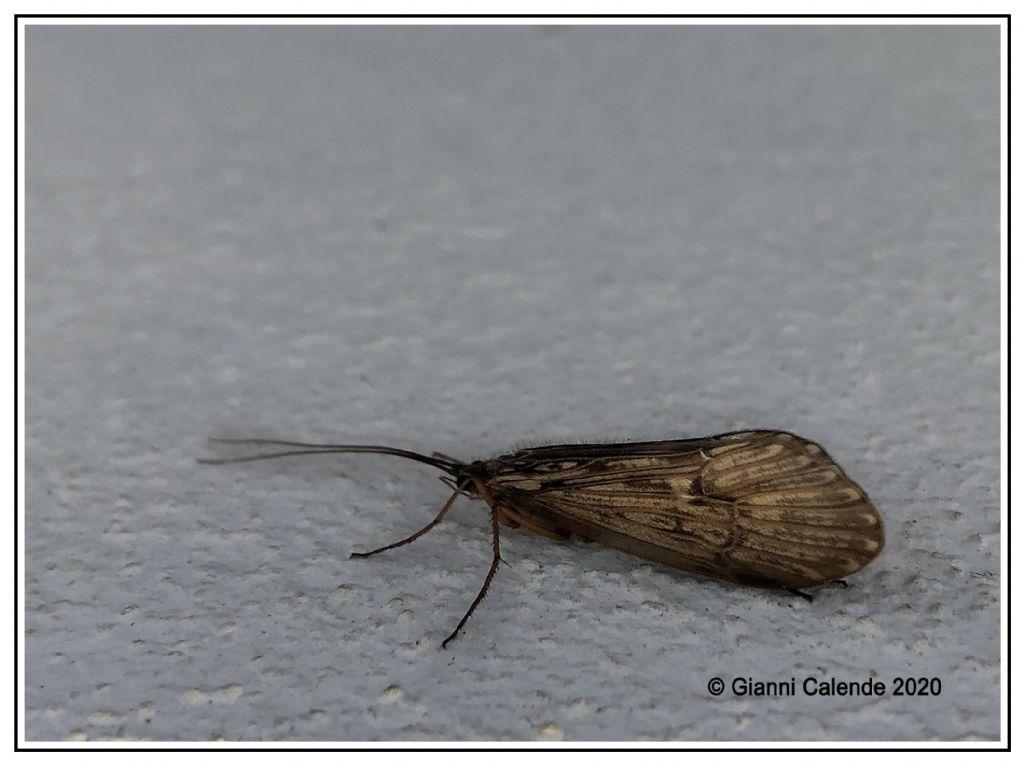 Halesus sp. ( Limnephilidae)