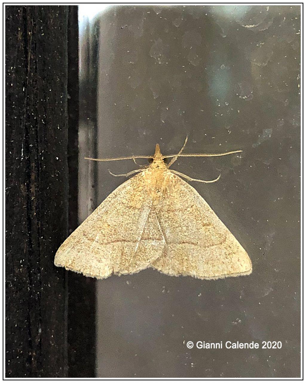 Farfallina da Id: Paracolax tristalis - Erebidae
