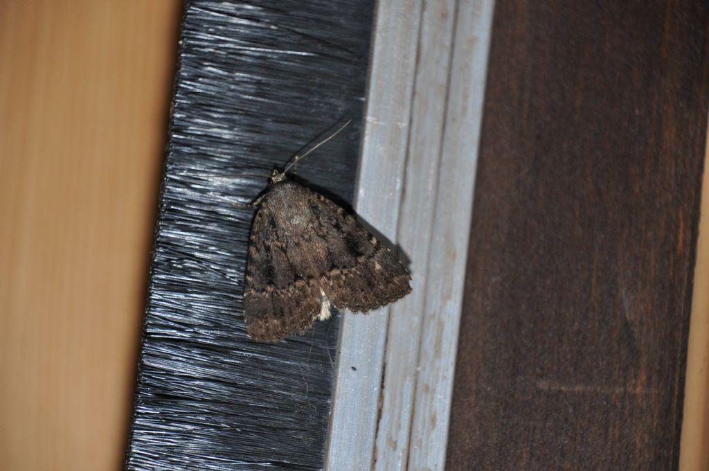 Amphipyra pyramidea - Noctuidae