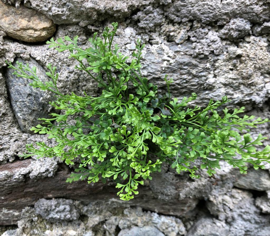 Asplenium x alternifolium ?