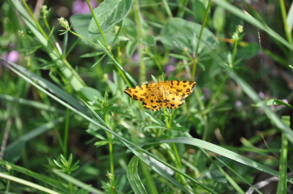 Pseudopanthera macularia (Geometridae)