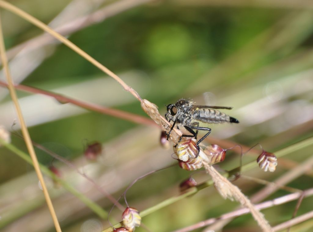Asilidae Asilinae Asilini sp., femmina