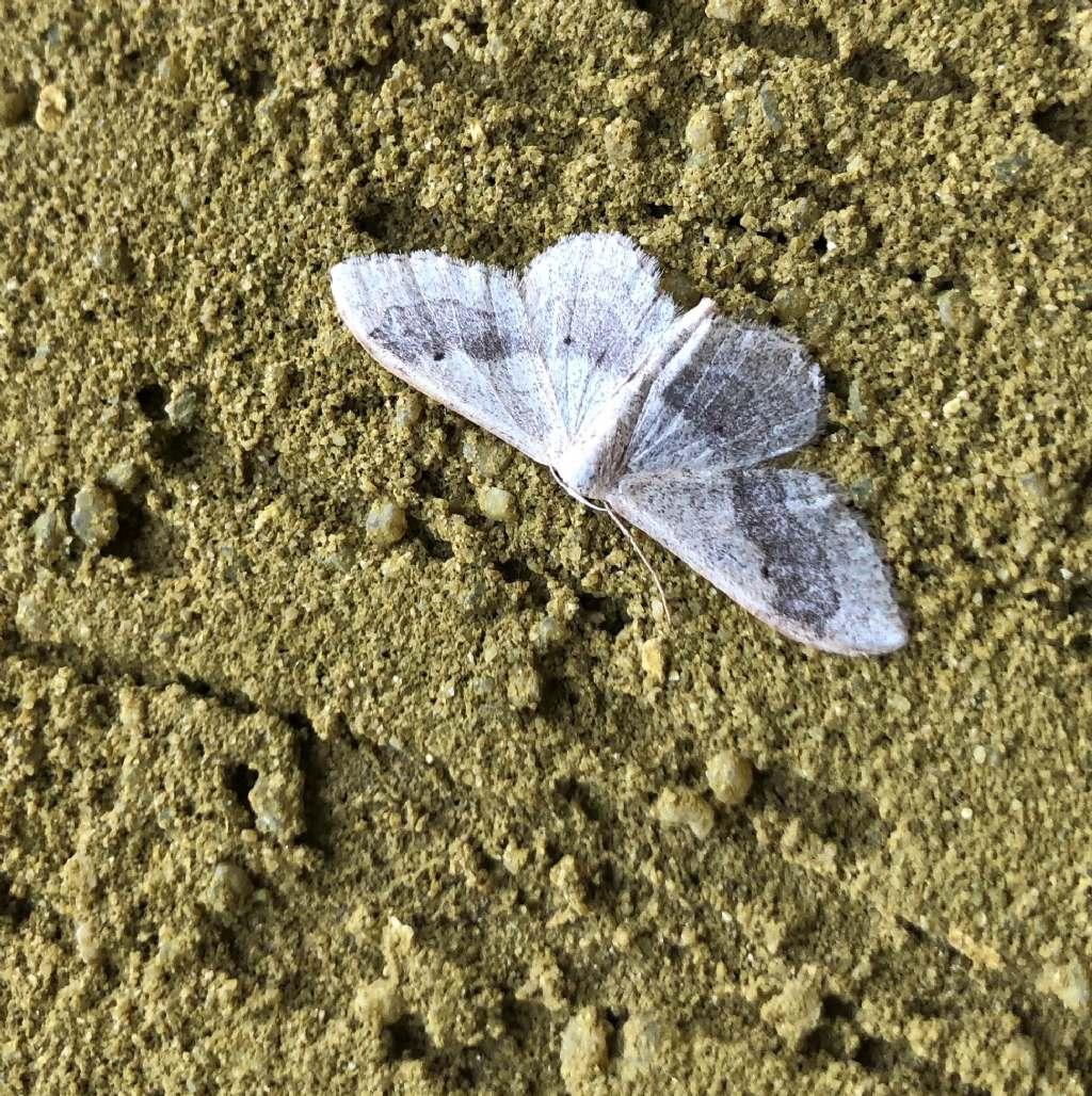 Idaea aversata - Geometridae