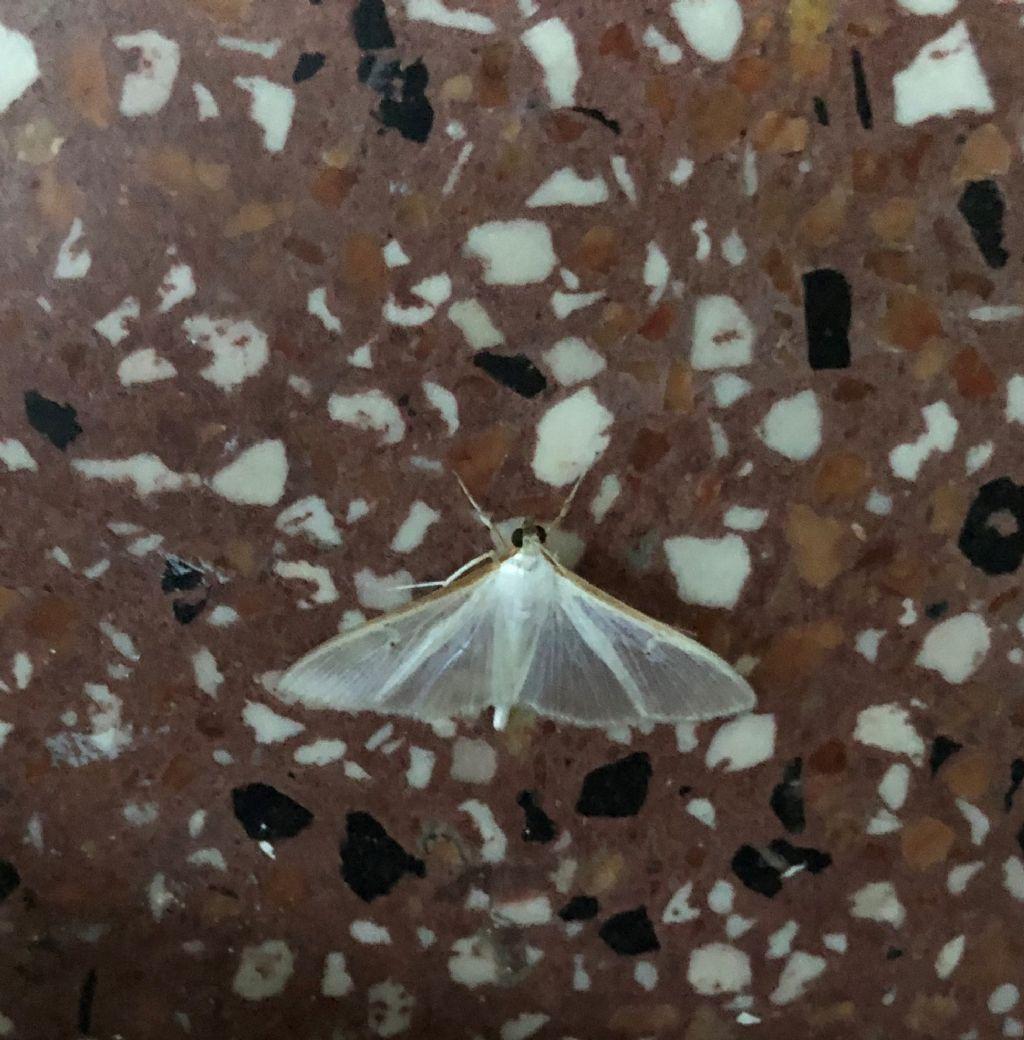 Palpita vitrealis (Crambidae)