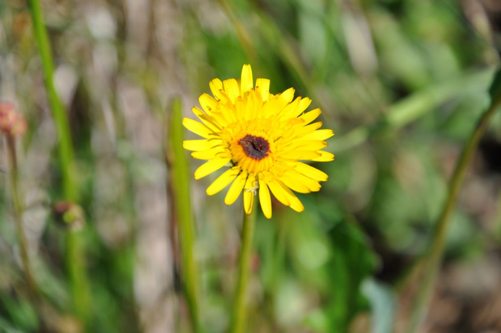 Scorzoneroides autumnalis da confermare